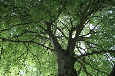 Beech Tree looking up - Curtis M Andrews